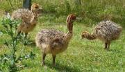 Ostrich Chicks and Fertile Ostrich eggs for sale