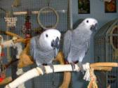 Tamed Talking African Grey Parrots