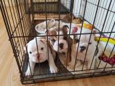 Triple Carriers bulldogs