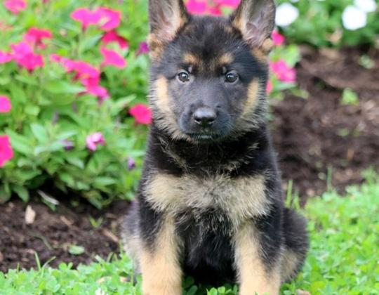 Adorable German shepherd puppies for sale