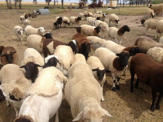 Boar Goat Merino sheep Lamps and Dorpers for Sale in Belfast, Mpumalanga