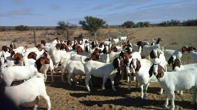 Discount sale, Boar goat Merino sheep Lamps and Dorpers for Sale
