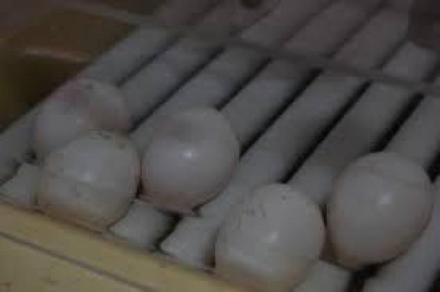 fertile and candle tested parrot eggs for sale in Drakensberg, KwaZulu-Natal