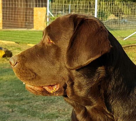 KUSA Registered Labrador Pups - Black