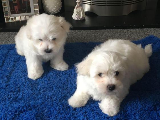 Lovely maltese puppies available in Alberton, Gauteng