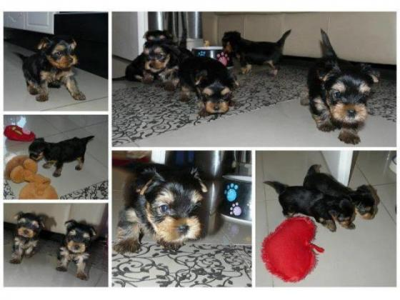 Teacup and Pocket size Yorkie Pups males & females available in Nelspruit, Mpumalanga