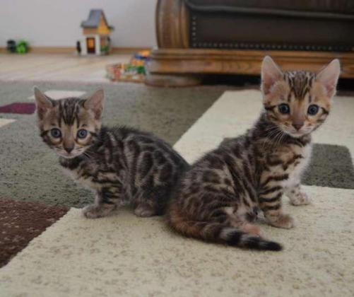 Adorable Excellent Sweet Female/Male Bengal Kittens ready to go