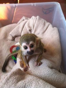 babies squirrel monkeys Available.