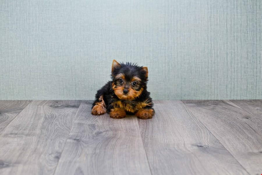 teacup yorkie puppy for sale by owner