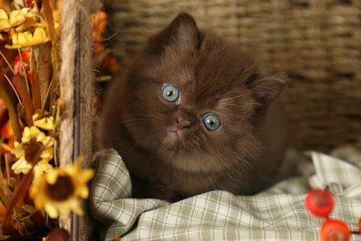 Teddy Bear Persian Kitten Roodepoort Public Ads