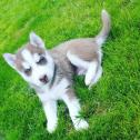 4 Stunning Gray & White Siberian Huskies All.