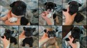 Beautiful pedigree french bulldog litter , imported parents , top bloodline