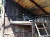 Black female Golden eagle for sale