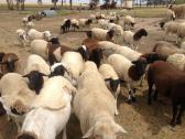 Boar Goat Merino sheep Lamps and Dorpers for Sale
