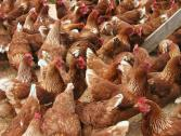 Hyling point of lay hens and cages