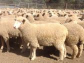 Merino sheep Lamps and Dorpers for Sale