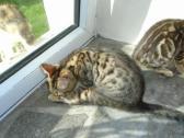 New Era Bengal kittens Ready Now