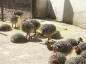 Ostrich chicks and other birds for sale