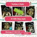 Pure bred Yorkie pups 4 sale