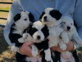 PUREBRED BORDER COLLIE puppies