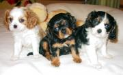 Healthy Beautiful Cavalier King Charles Spaniel puppies