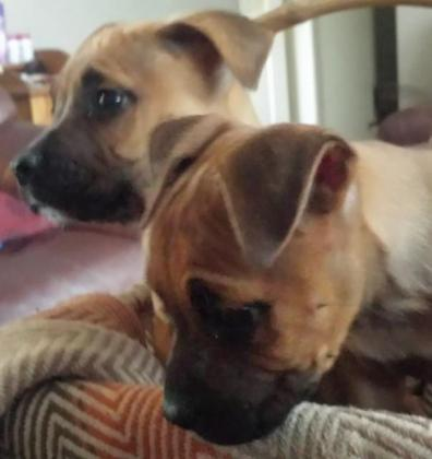 AMERICAN STAFFIE PUPPIES AVAILABLE IN NOVEMBER in Alberton, Gauteng