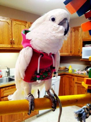 Beautiful and Talkative Cockatoos For Sale,