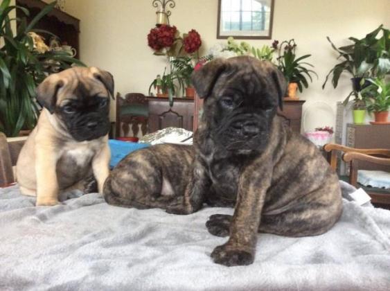 Bullmastiff' puppies