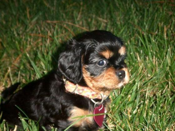 Cavalier king Charles  puppies ready for love home