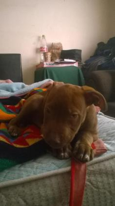 chocolate red nose pit bull pup looking for a new home in Southern Suburbs, Western Cape