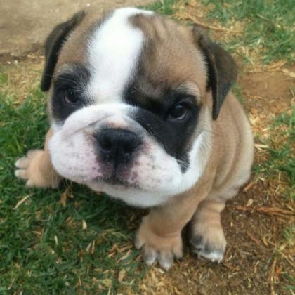 English Bulldog male and female puppies