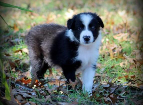 Excellent Bloodlines Registered Border Collies Ready to leave in Durban, KwaZulu-Natal