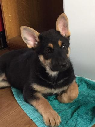 German sheperd pups available