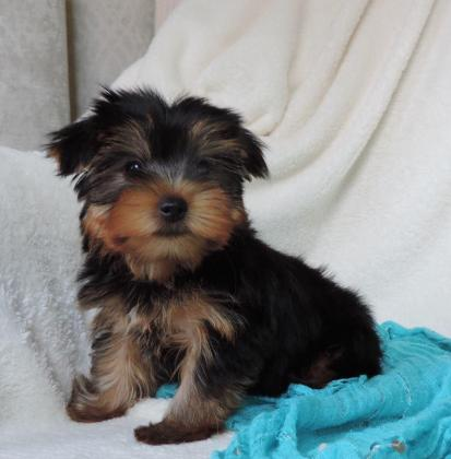 Miniature Teacup Yorkie puppies