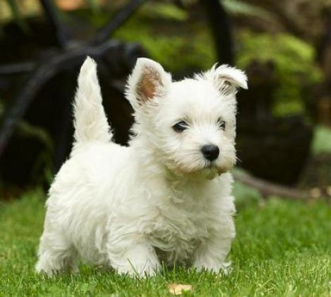 New litter of West Highland White Terrier