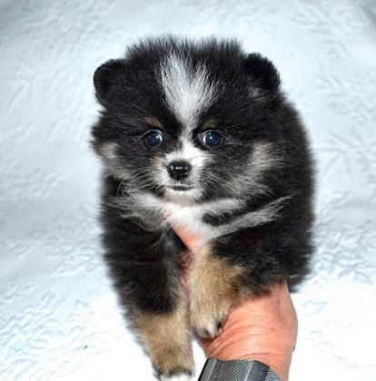 Pomeranian puppies ready for sale