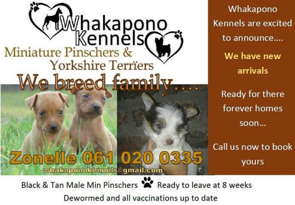 Registered Miniature Pinscher Puppies for sale R3000 in Oudtshoorn, Western Cape