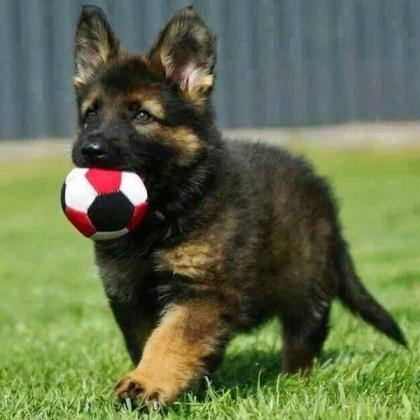 True German Shepherd Puppies! Top quality in Johannesburg, Gauteng
