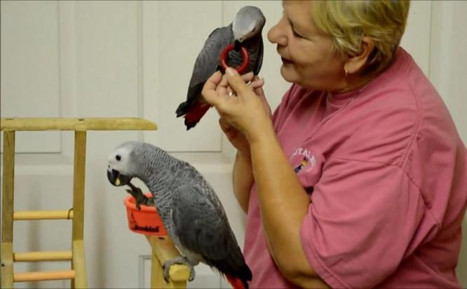 Two African Grey Parrots for sale