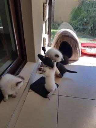 Kittens 8 weeks old Free