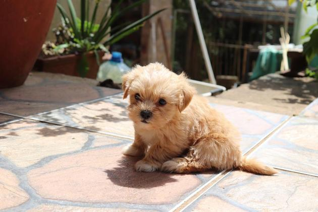Adorably cute mini Shorkie puppies for sale