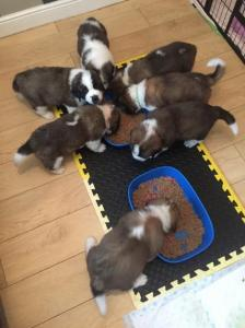 Rough Coat Saint Bernard Pups