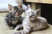 Amazing Bengal Kittens