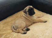 Bullmastiff' puppies