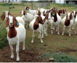 Livestock. Goats (Boar, Merino, Kalahari red, Ewes, Sheep, Sanen), Pigs/Piglets, Chicken
