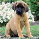 English mastiff for sale.