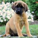 English mastiff for sale.