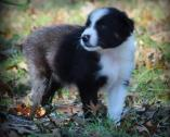 Excellent Bloodlines Registered Border Collies Ready to leave