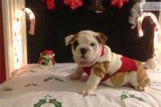 Gorgeous English Bulldog Puppies For Sale