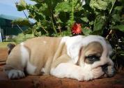KUSA english bulldog Puppies Champion Bloodline